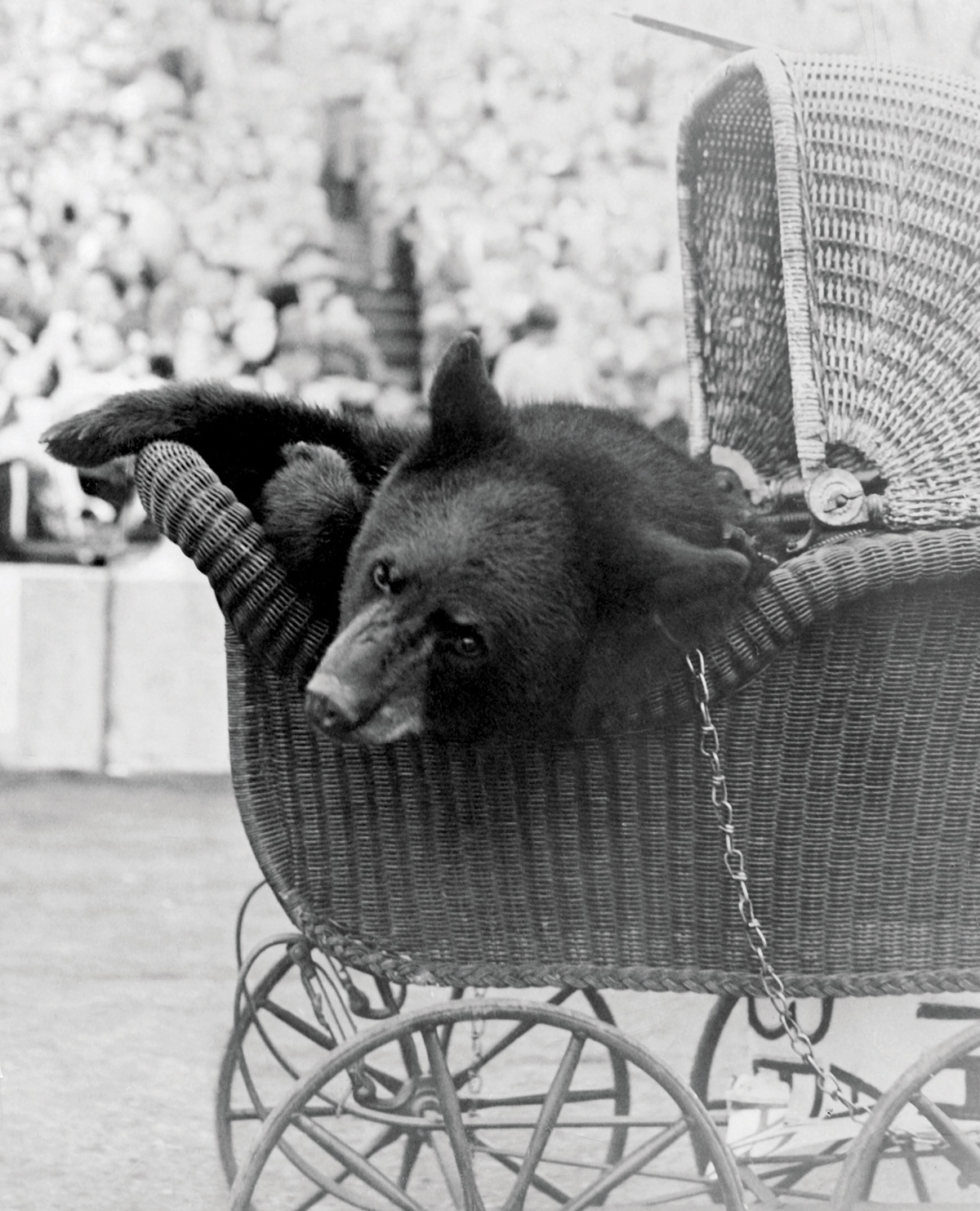 A vintage photograph of a bear in a baby carriage, from 1948.