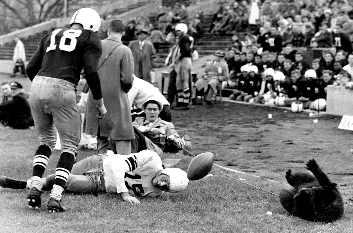 Vintage photograph of a bear on the sidelines of a football game.